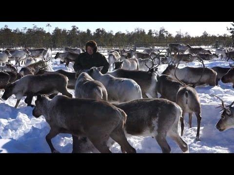 Sibérie: les éleveurs de rennes face aux groupes pétroliers