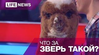 видео Альпака