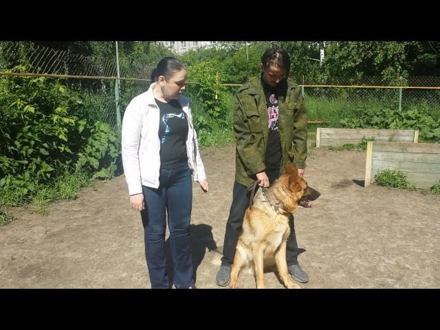 Видеоотзыв -Дрессировка собак-немецкая овчарка Флинт 1.4 Г
