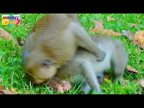 Poor Orphan Jessie Kari bite her coz don't her happy play with Timo baby | Monkey Daily 1962