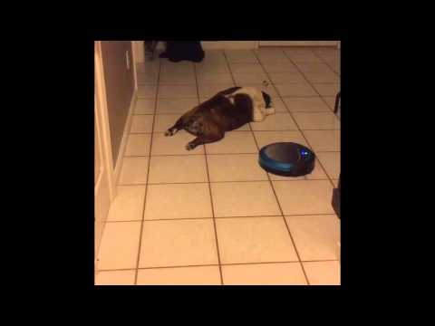 Lazy funny bulldog versus robot vacuum