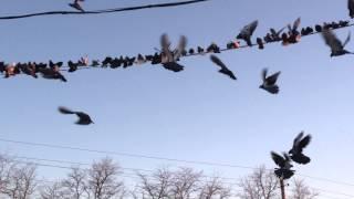 Николаевские голуби. Ставропольский край
