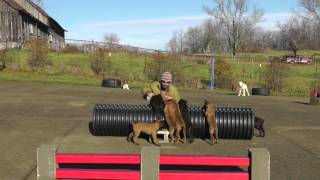 Malinois Puppy Training Lesson Five