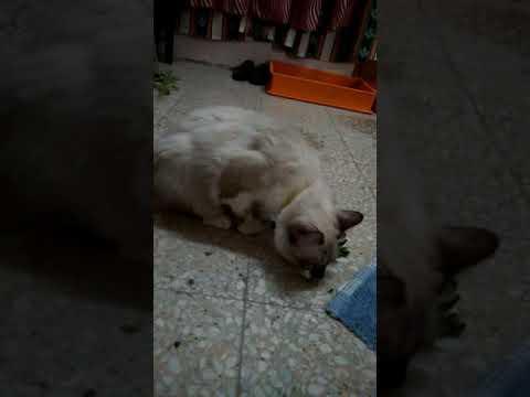 khasiat-pokok-kucing-galak-kepada-kucing