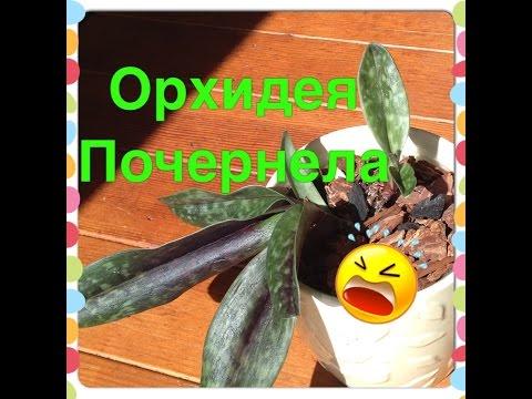 Листья Орхидеи  ПОЧЕРНЕЛИ