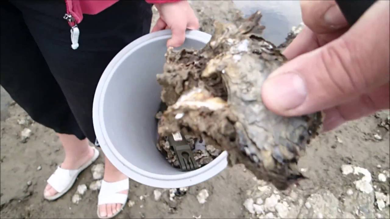 oysters eaten alive youtube