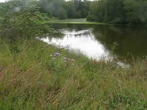 American Water Spaniel - Water retrieve