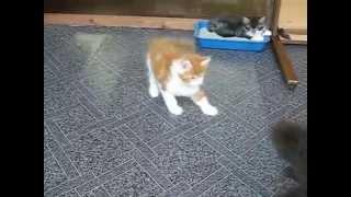 Воспитание котят мейн-кунов (24coon.ru)