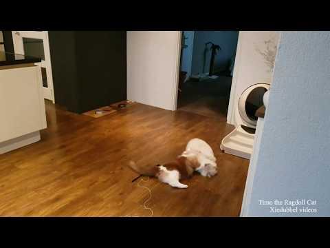 Wrestling Ragdolls (short clip) Timo the Ragdoll Cat