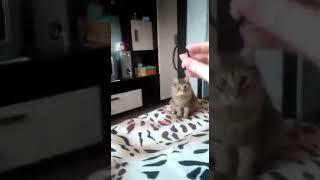 Учим котенка приносить предметы. Кошка приносит резинку для волос! Шок!