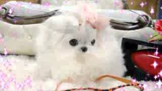 Teacup Maltese England:) Teacup Puppy For Sale!