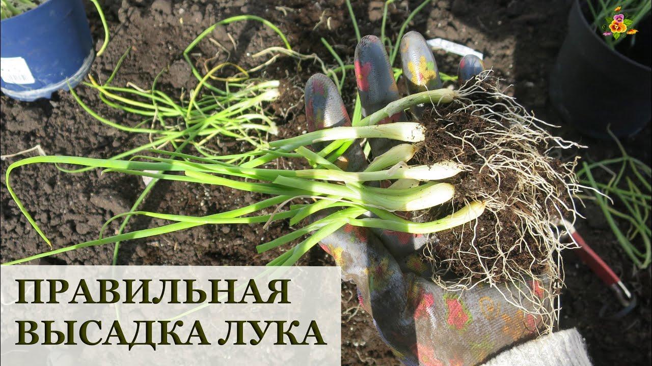 ПРАВИЛЬНО высаживаем рассаду лука! / Крупноплодные сорта