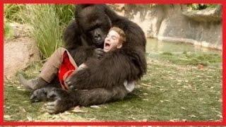 gorilla attacks compilation angry gorilla 2015 hd new 1male lion vs crocodile