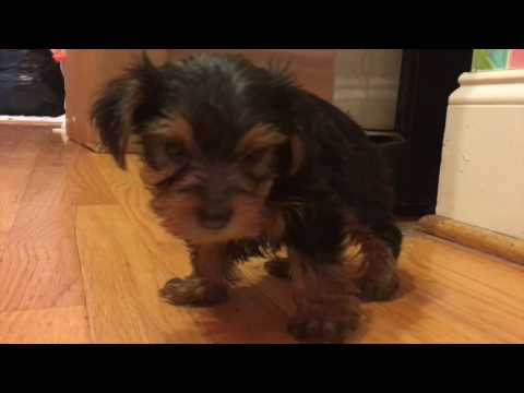 Teacup Yorkie Puppies For Sale In North Carolina!