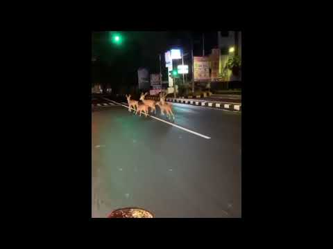 Penampakan Beberapa Ekor Rusa Berkeliaran seputaran jalan Diponegoro Denpasar Bali