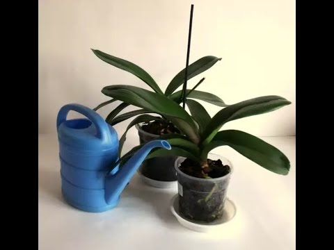 Орхидея фаленопсис – уход в домашних условиях, размножение