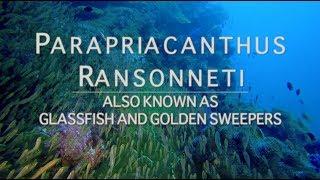 Glassfish   Andaman Sea   Thailand Aggressor