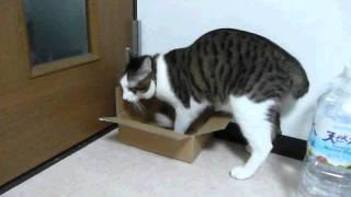 猫のりきまる君が小さめのダンボール箱に入ろうと苦労するところと、そ...