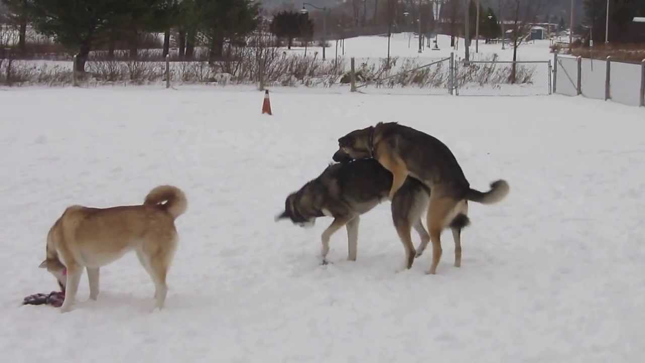 How Dogs Show Dominence
