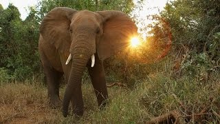 Report Says African Elephants Are Being Poached At An Alarming Rate - Newsy