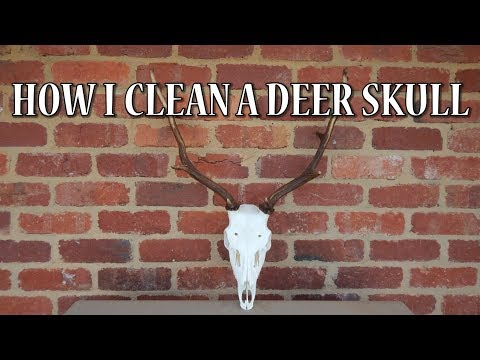 HOW I CLEAN A DEER SKULL (Euro Style)
