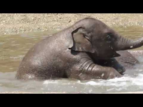 Little elephant Kyan goes swimming with his mother Indra