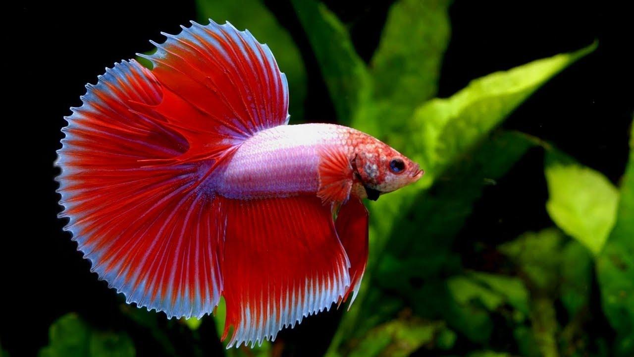 Apa Itu Ikan Cupang Koi Info Dan Asal Usul What Is Betta Fish Koi Info And From Youtube