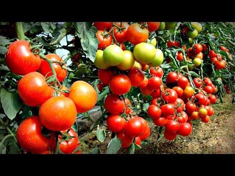 15 кг помидор с куста это реально. Начало