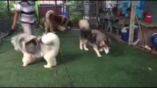 Nhận phối giống chó Alaska giá rẻ