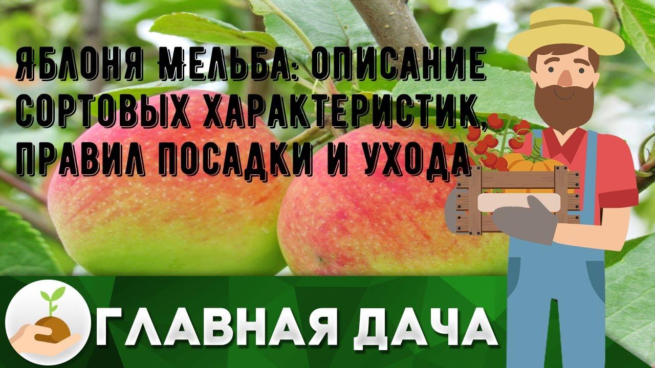 Яблоня Мельба: описание сортовых характеристик, правил посадки и ухода