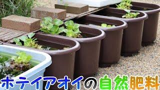 ホテイアオイの自然肥料発見? Natural fertilizer discovery of water ...