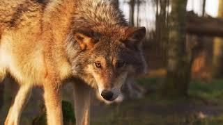 Познавательное видео про волков