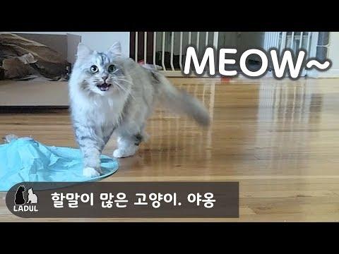 할말이 많은 시베리아 고양이,Siberian cat.  대답냥이.  ♡LaDulsHome♡