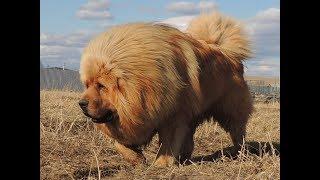 Щенки тибетского мастифа - свой собственный лев!