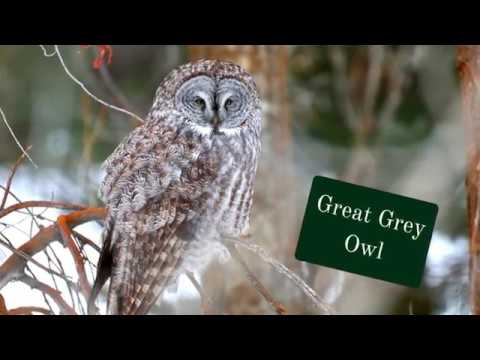 Nature #40 - Great Grey Owl on Multiple Perches - 2/25/17