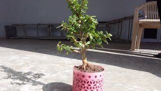 Repotting Zade plant/Jade plant/friendship tree/lucky plant/Crassula ovata as bonsai,care and tips