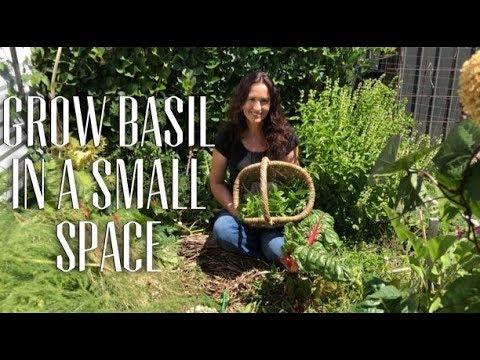 How to Grow Sweet Basil in a Small Space & get a Long Harvesting Season