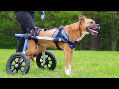 Marley's First Steps In Donated Walkin' Wheels Dog Wheelchair From Joey's Paw!