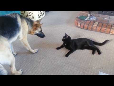 compilation funny cat dog vine . Try Not To Laugh