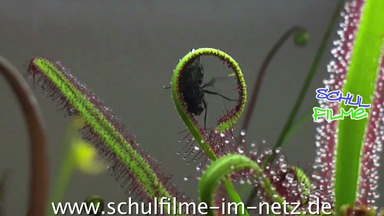 fleischfressende pflanzen schulfilm biologie youtube. Black Bedroom Furniture Sets. Home Design Ideas