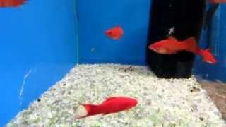 Аквариумные рыбки Меченосцы(В этом видео я вам расскажу кратко о красных аквариумных рыбках Меченосец! Поторопись подписаться на этот..., 2014-11-05T09:53:11.000Z)