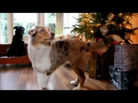 Australian Shepherd and the Christmas tree