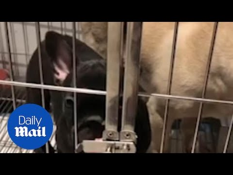 Carmine - French Bulldog Uses Tongue To Open Cage!
