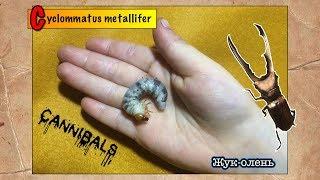 Личинки жука-оленя съели друг друга // Cyclommatus metallifer