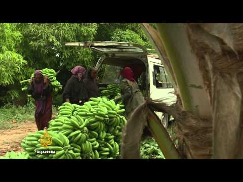 Somalia's banana industry makes a comeback