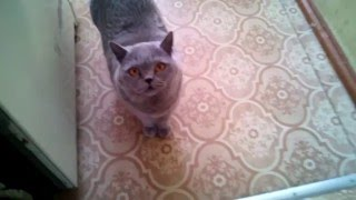 Говорящая кошка просит мясо :-)) Британка- попрошайка.(, 2016-03-29T08:49:18.000Z)