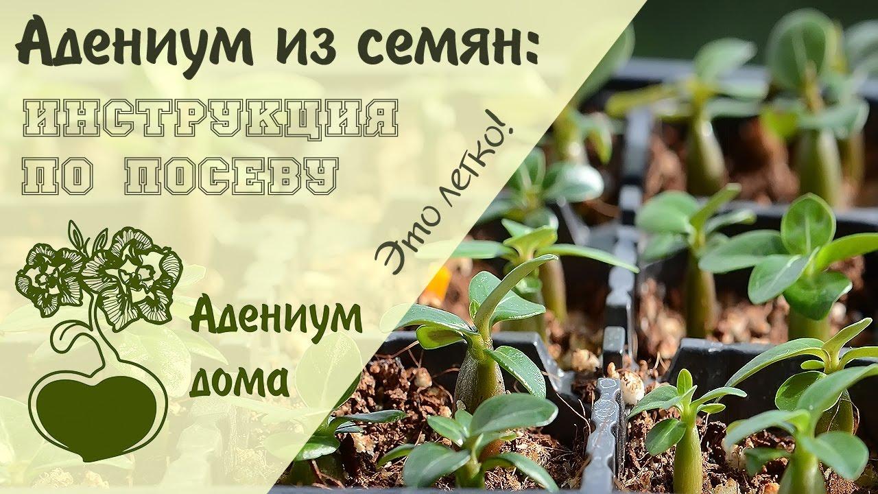 Семена деревьев бонсай и кустарников ❱❱❱ купить в. Семена бругмансия аромагия белая 3шт (гавриш). Семена баобаба (adansonia digitata).