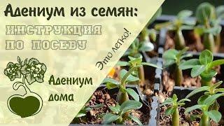 Смотреть видео адениум семена
