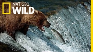 The Search for Salmon   Bears
