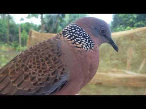 Tiếng chim cu gáy gọi hay kích bổi nhanh nổi cuckoo bird